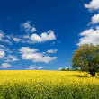 Field of rapeseed with beautiful cloud - plant for green energy — Stock Photo #25618235
