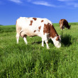 Cows on a summer pasture — Stock Photo #25851799