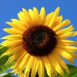 Sunny Sunflower — Stock Photo