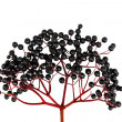 Black Elderberry isolated on white background — Stock Photo
