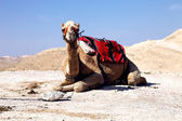 Dromedary camel in the desert — Stock Photo