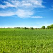 Field of green grass and perfect blue sky  — Stockfoto
