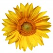 Sunflower isolated on white background  — Stock Photo