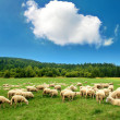 Sheep — Stock Photo #35136347