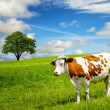 Stock Photo: Cow and field of fresh grass