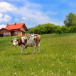 New house and cow on green meadow — Stock Photo