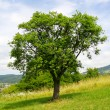 Apple tree — Stock Photo #13209951
