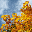 Stock Photo: Autumn leaves against blue sky