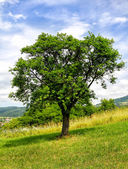 Tree on green meadow — Fotografia Stock
