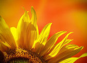 Sunflower at sunset — Stock Photo
