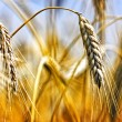 Golden wheat field — Stock Photo #16860119