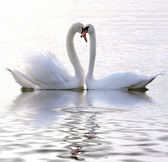 Swans in love — 图库照片