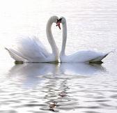 在爱中的天鹅 — 图库照片
