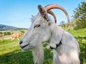 Goat on pasture — Stock Photo
