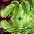 Green leaves reflecting in the water — Stock Photo #17003273