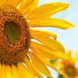 Sunflower — Stock Photo #18859095