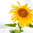 Yellow sunflower - Stock Photo