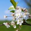 Apple blossom — Stock Photo #19118125
