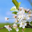Apple blossom — Stock Photo #19162787