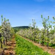 Apple orchard — Stock Photo #19438063