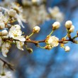 Blossoming apple tree with white flowers on blue sky - Stock Photo