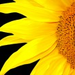 Photo: Single sunflower