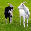 Goat on a meadow - Stockfoto