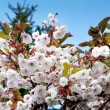 Blossom tree in spring - Stock Photo