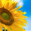 Sunflower background with blue sky — Stock Photo