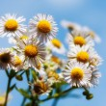 Wild daisies — Stock Photo