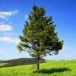 Pine tree in the mountain — Stock Photo