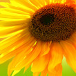 Yellow Sunflower — Stock Photo