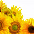Yellow sunflower on white background — Stock Photo