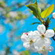Blooming apple tree branch in spring over blue sky — Stock Photo