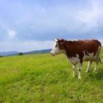 çayır üzerinde inek — Stok fotoğraf
