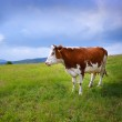 Cow in the field — Stock Photo