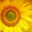 Sunflower Head — Stock Photo #31313253