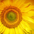Stock Photo: Sunflower Head