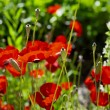 Poppies — Stock Photo #31406857