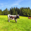 Stock Photo: Cows on summer pasture