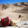 Desert landscape with camel — Stock Photo