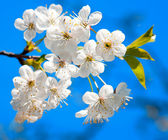 Cherry tree blossoming in the springtime — Stock Photo