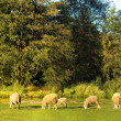 sheep — Stock Photo #13441735