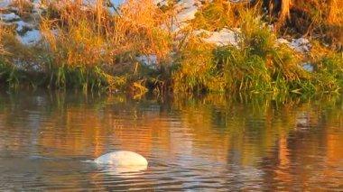 Swan on blue lake water — Stock Video