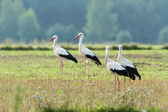 Storks on green grass — Stock Photo