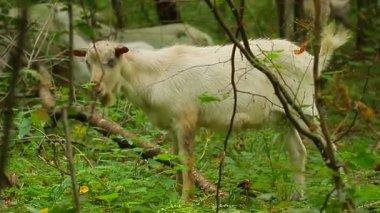 Goats grazing — Stock Video