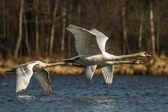 Cisne — Fotografia Stock