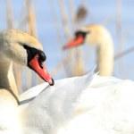 Swan — Stock Photo #23907521