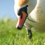 Swan — Stock Photo #25492033