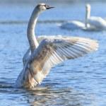 Swan — Stock Photo #25492037